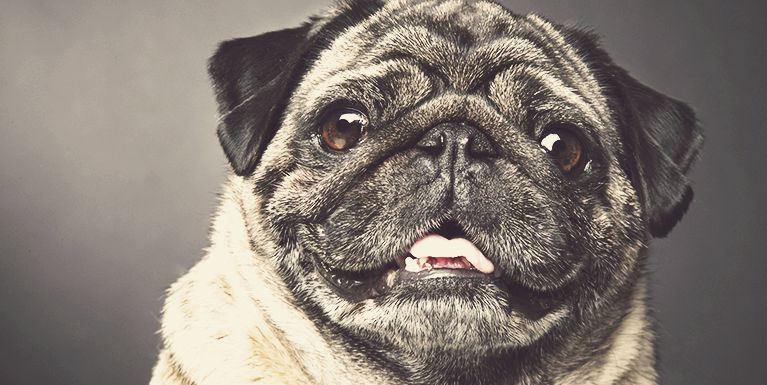 Banner | Curiosidades sobre os pets mais fofos, Pugs!